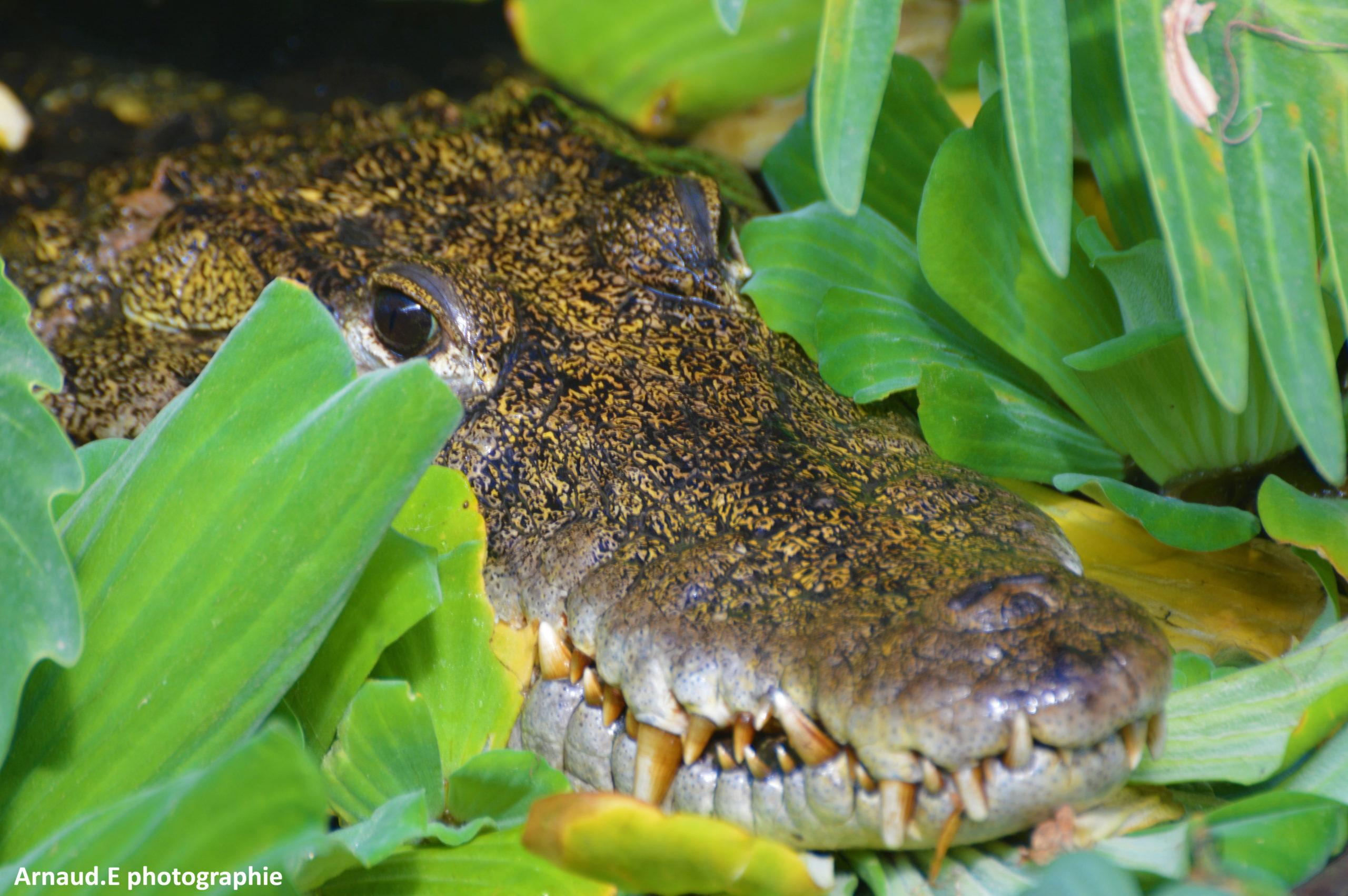 Crocodiles de la ferme aux crocodiles